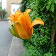 ヤブカンゾウ 花の命は短くてわずかに1日 弁化した花糸