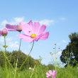 万博 花の丘に咲くコスモス***カラタチの実