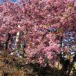 手賀沼と取手市役所の河津桜