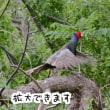 Pちゃんの野鳥撮影記録⑥ キジ