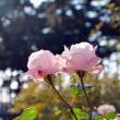 11月の薔薇①    ~前橋ばら園~