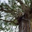 ユーカリの樹「有加利樹」