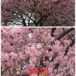 河津桜が満開です!