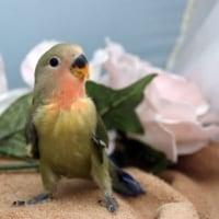 コザクラインコ/各種小鳥販売/ペットショップ/塩釜市/多賀城市/利府町