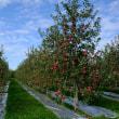 林檎の実は青森の花だ