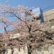 秋葉原の佐久間公園の桜が満開に