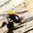 今年も会えたクマンバチその1
