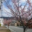 伊東小室桜七分咲き