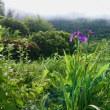 6月21日アヤメ咲き、田んぼの除草です(^0_0^)