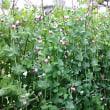 赤い花の豆