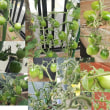 ミニトマトが今頃 大豊作