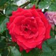 雨が降る前に、アンクルウォルター(二番花)が咲いています
