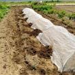 丹波の黒豆播種