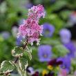 ヘミジギア・ピンクサファイアの花は