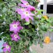 oneboke  今日の庭  クレマチスと薔薇とカラミンサ と Kitchen仕事