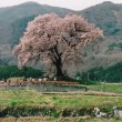 【古い写真】2006年04月 わに塚のサクラ