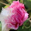 花彩々   酔芙蓉の花