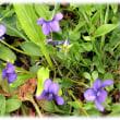 すみれの花咲く頃…(^^♪春すみれ咲き 春を告げる 可憐な「スミレの花」