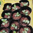 野菜の苗の色々