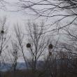 枯れ木の枝に丸い得体のしれない物体が・・・あれは何?