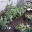 野菜の苗を買ってきました。狭い菜園は今はそら豆が主役です。