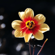 過去の写真~秋の花風景 ダリア 7