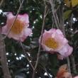 散歩で見た山茶花。