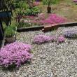 庭の「芝桜」、みごろ。