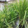 ジャンボタニシ(スクミリンゴガイ)の大繁殖池