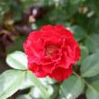 花フェスタ記念公園のバラ(2018年5月16日)