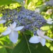 紫陽花「森の妖精」 5