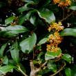 金木犀の季節