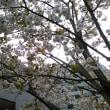 東京に咲く緑の桜