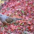 キジバト 紅葉のじゅうたんの上に…