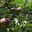 小さなリンゴになりました(2)