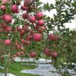 今のりんご園