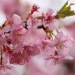 宗仲寺の河津桜