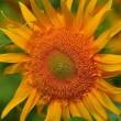 向日葵も色々
