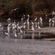長良川のサギ集団