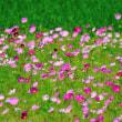 5月のコスモス畑の向こうには、まだ小さい緑の稲の苗がありました。 (Photo No.14343)