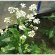 花が奇麗なホースラディッシュ