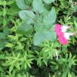 散歩道の朝花-⑨