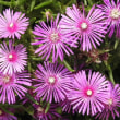 松葉菊と春のバラ(その24)