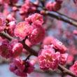 平成31年3月15日 桜情報