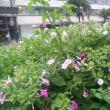 夏の花 オシロイバナ (白粉花)