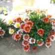 花編(11)真っ盛り咲き始める