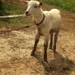 山羊🐐とニシキゴイ(゜))<<