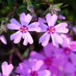 5月の道草:芝桜