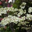 ハナミズキ(花水木)白色