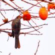 柿食う鳥たち